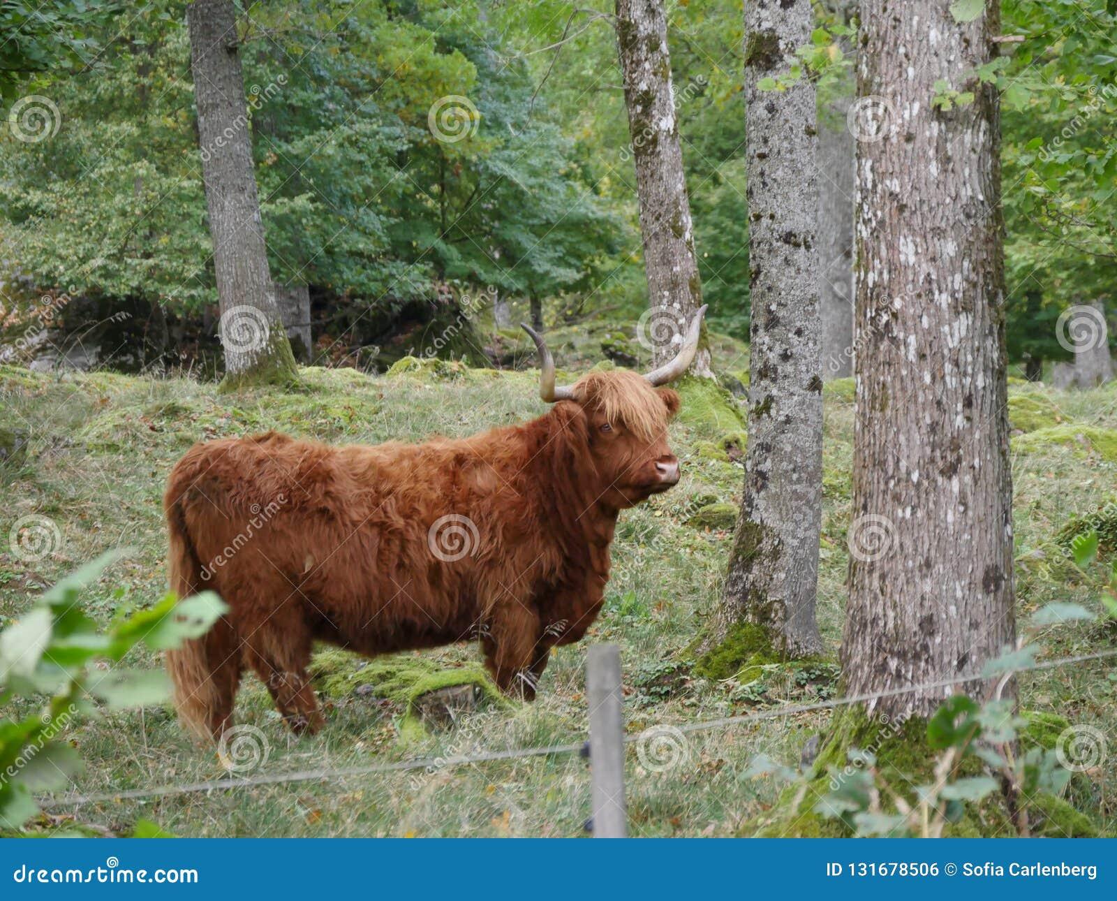 走在自然的高地牛