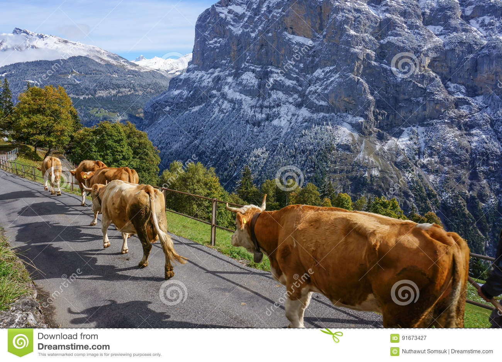 走在草甸与风景的路阳光的母牛在雪