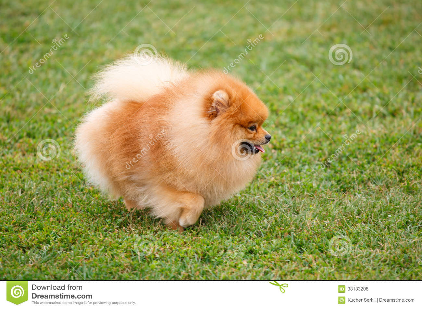走在草的Pomeranian狗