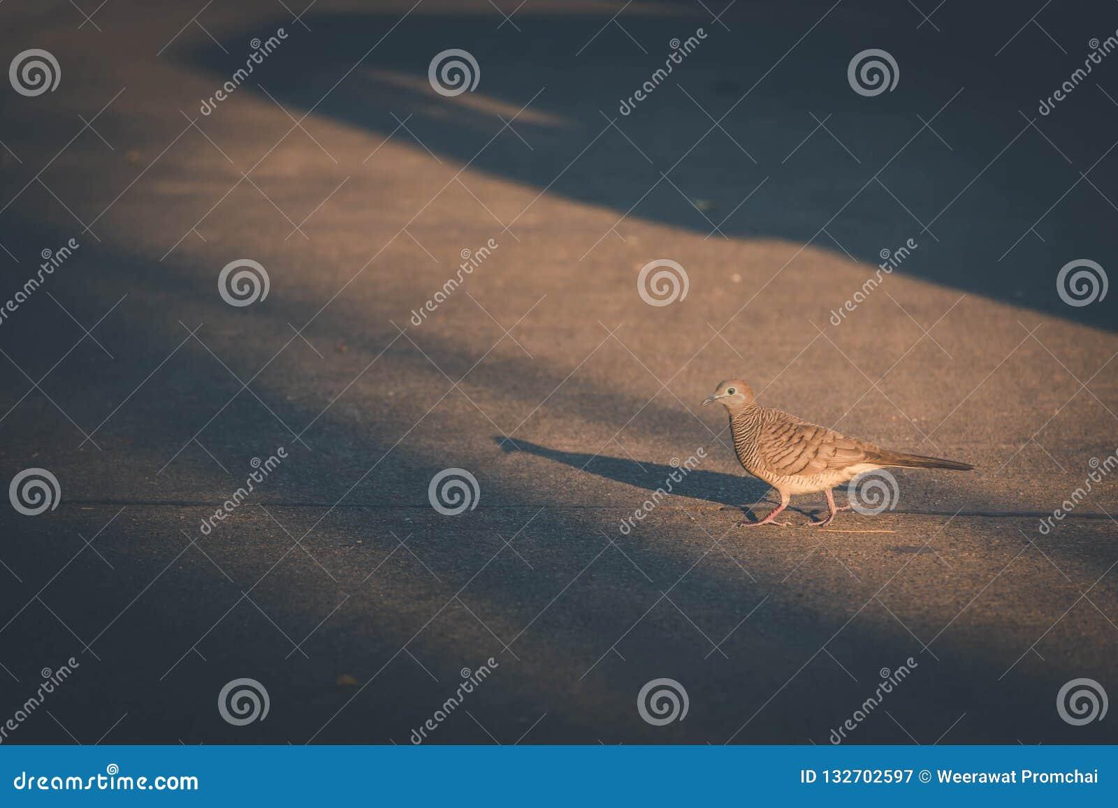 走在黑暗的口气的鸽子鸟