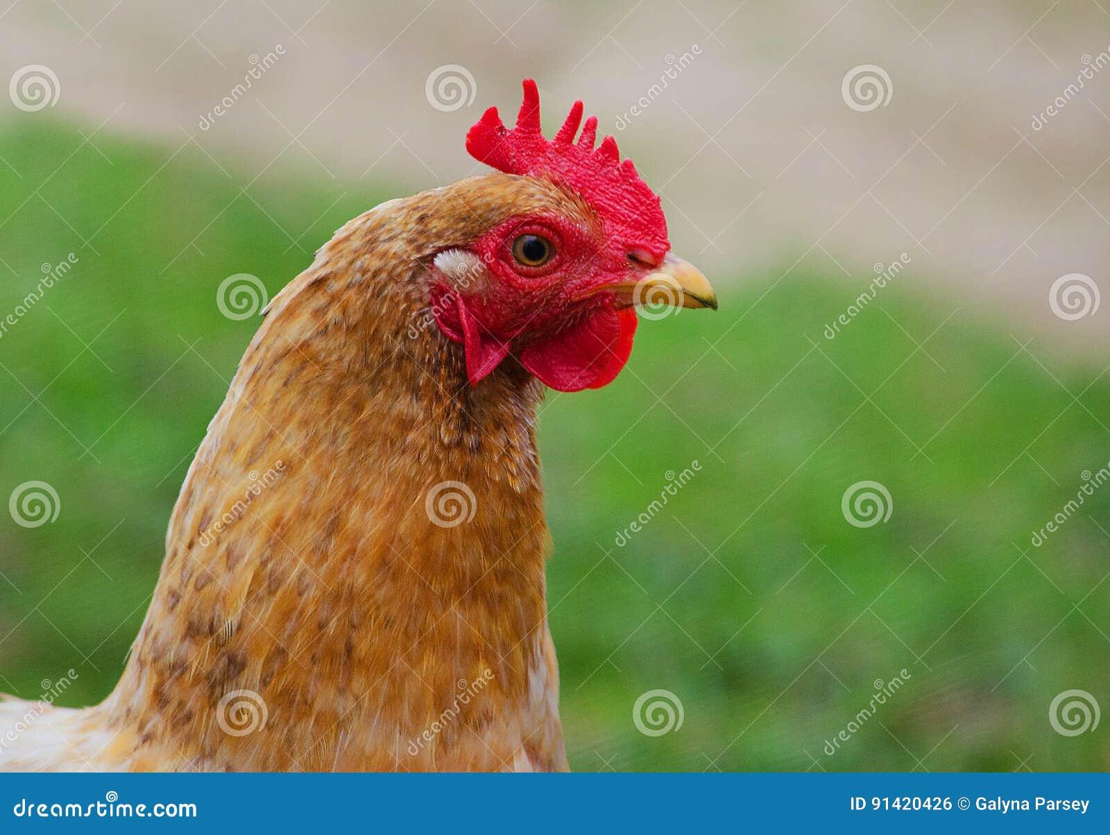 走家庭禽畜的鸡吃草和户外