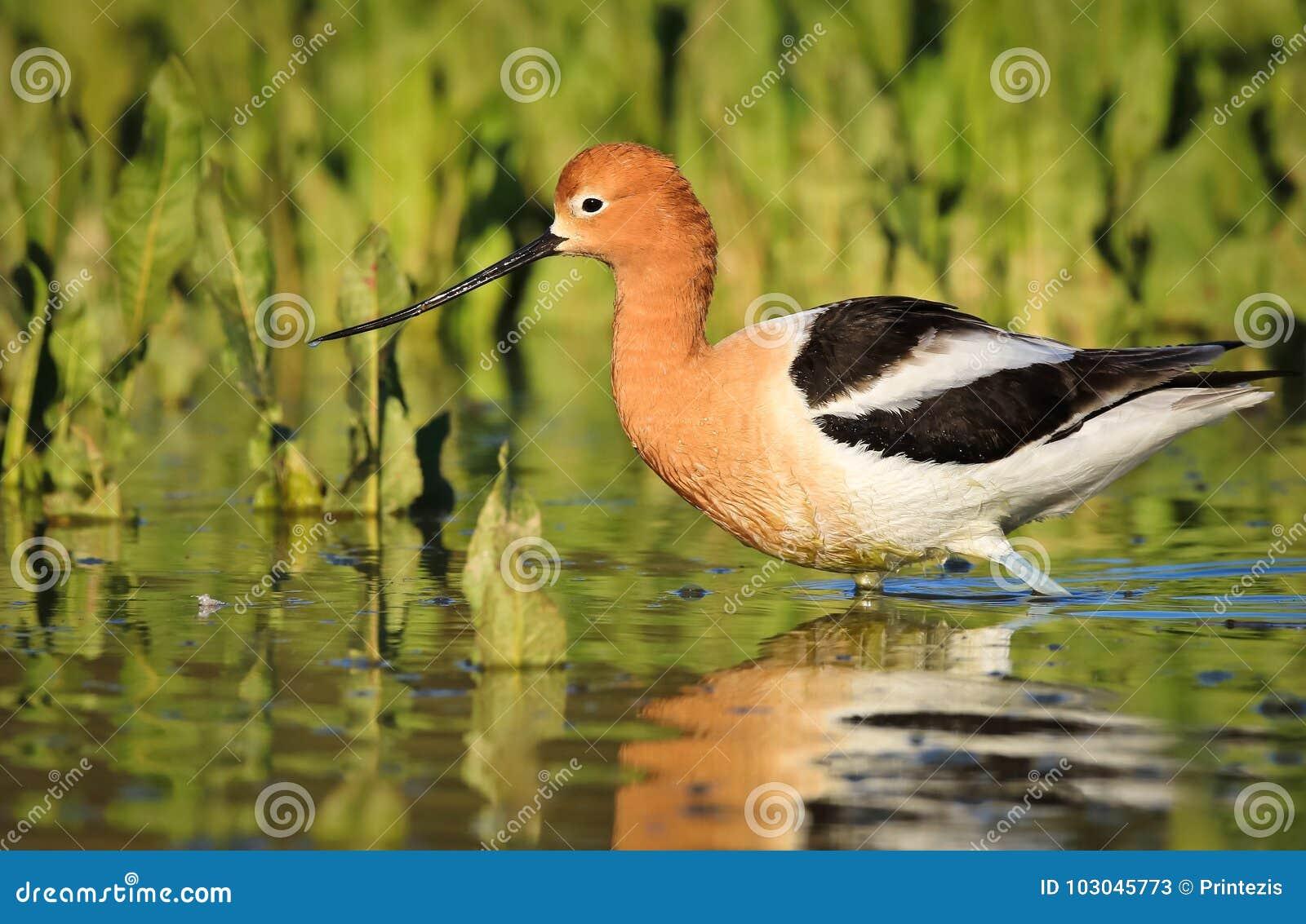 走由植物的长嘴上弯的长脚鸟在湖
