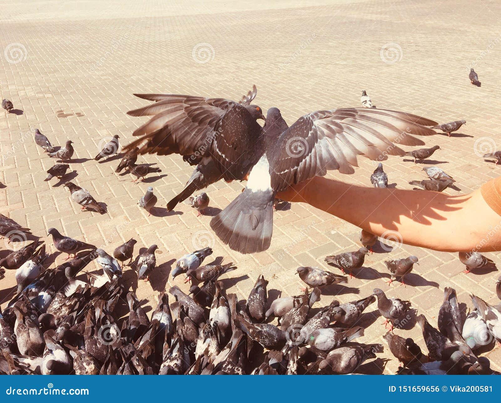 走的鸽子和的鸠在街道上户外