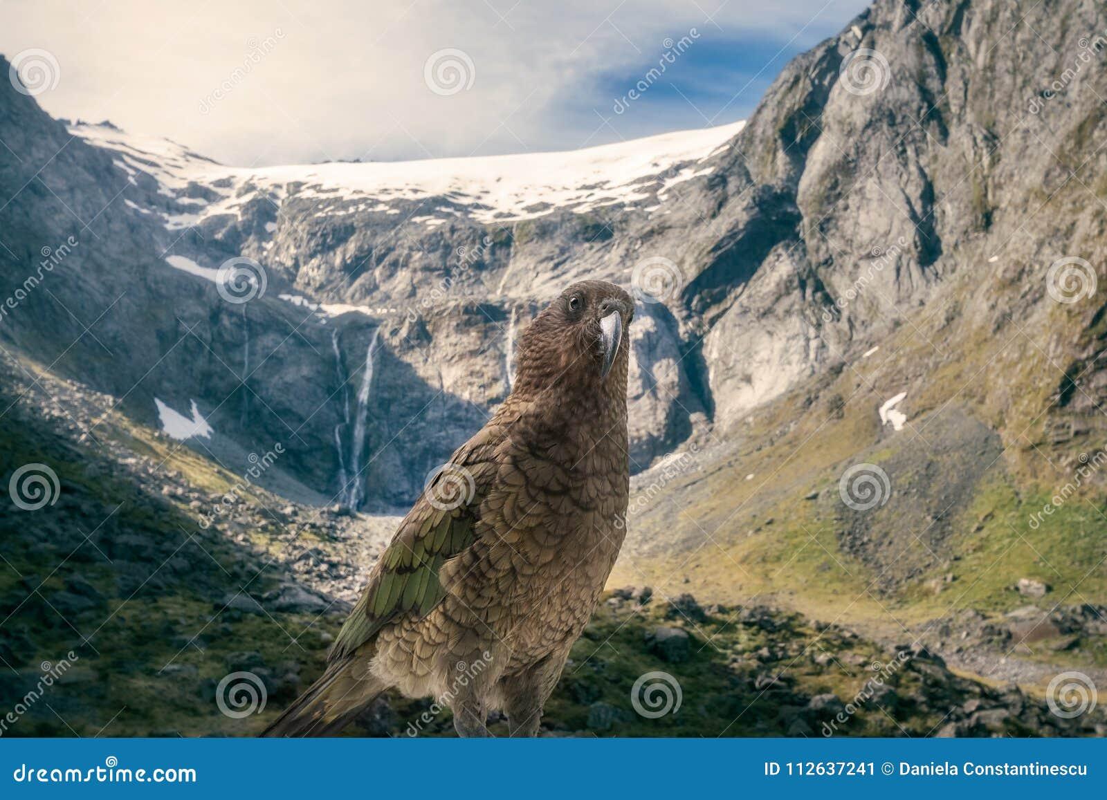 起亚,在积雪覆盖的登上T前面的新西兰` s当地鹦鹉