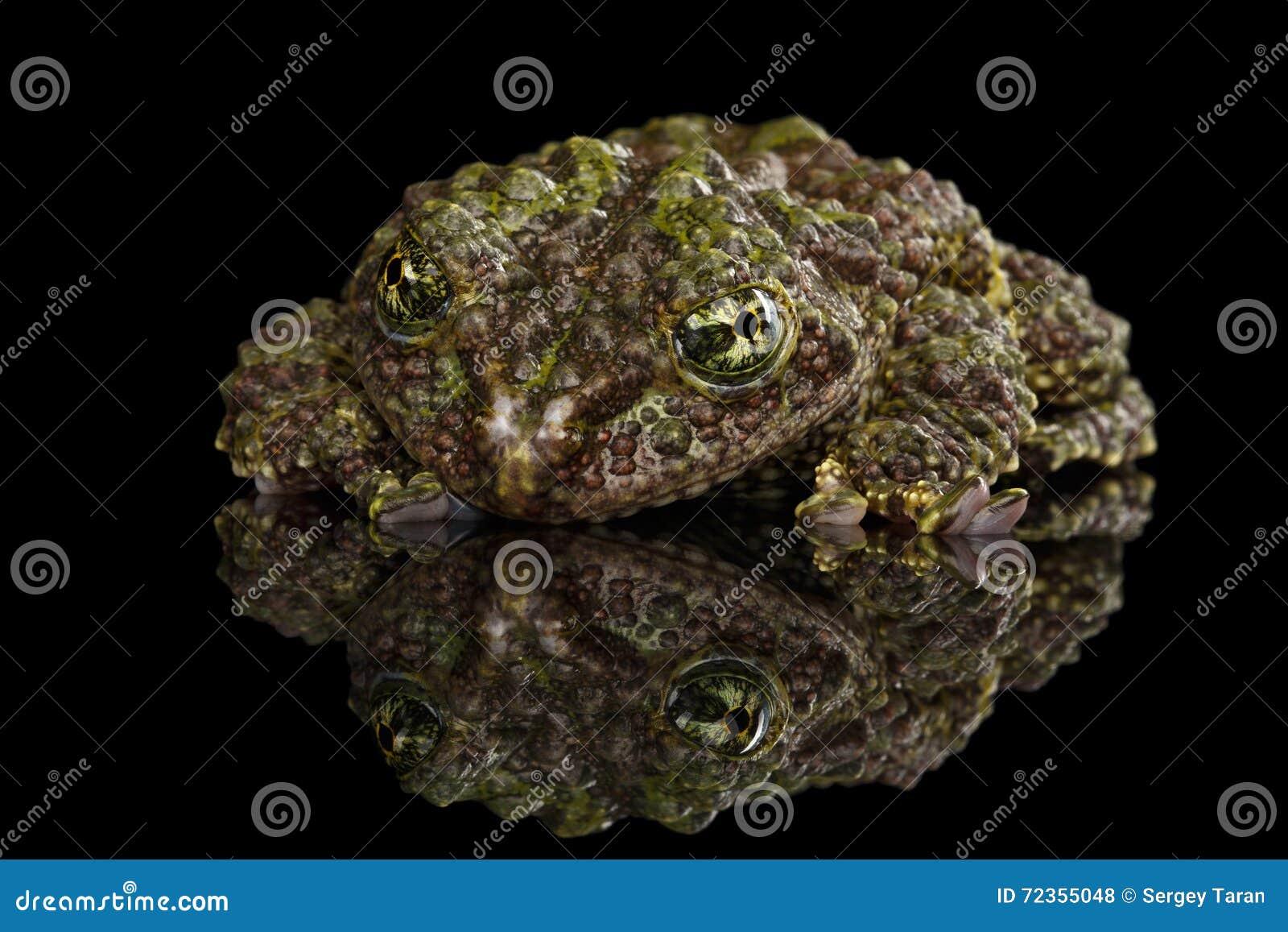 越南生苔青蛙, Theloderma corticale,汤金暴眼青蛙,被隔绝的黑色