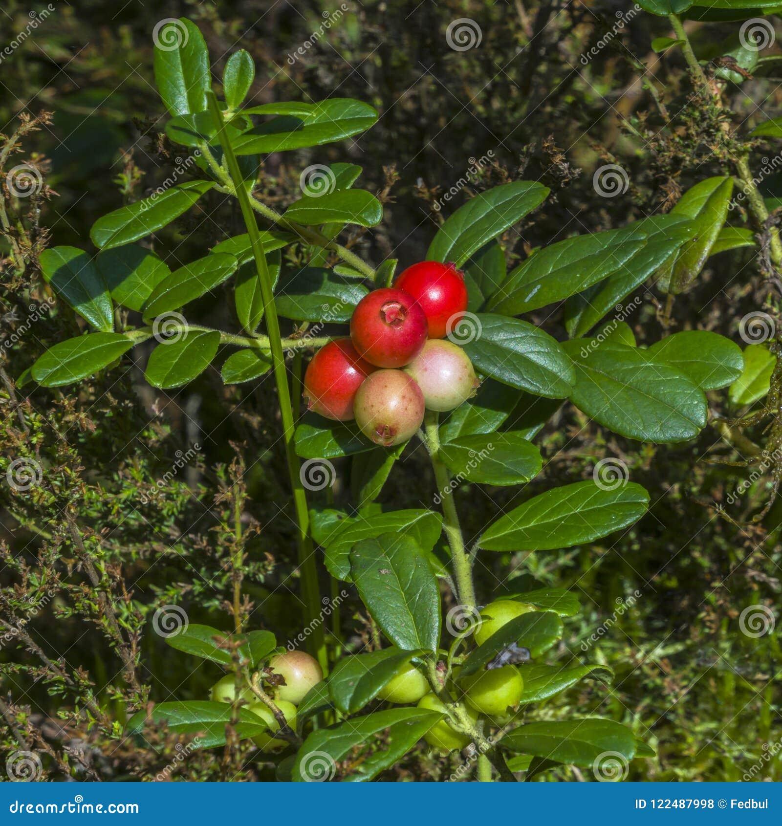 越橘和越橘的莓果领域在森林成熟的莓果在环境里