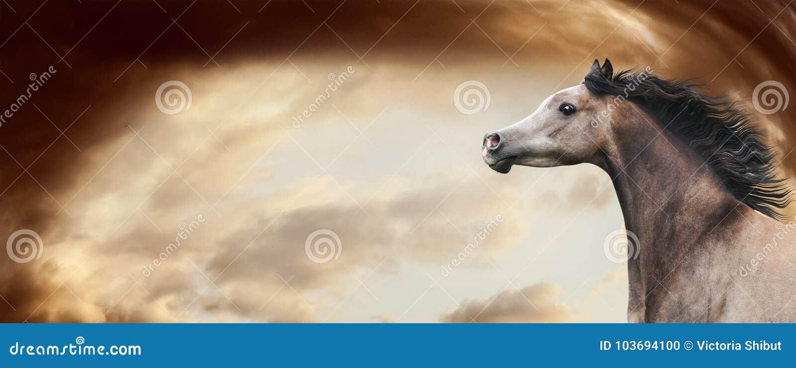 跑在令人敬畏的剧烈的天空背景的良种阿拉伯马 有开发的鬃毛的,横幅马头