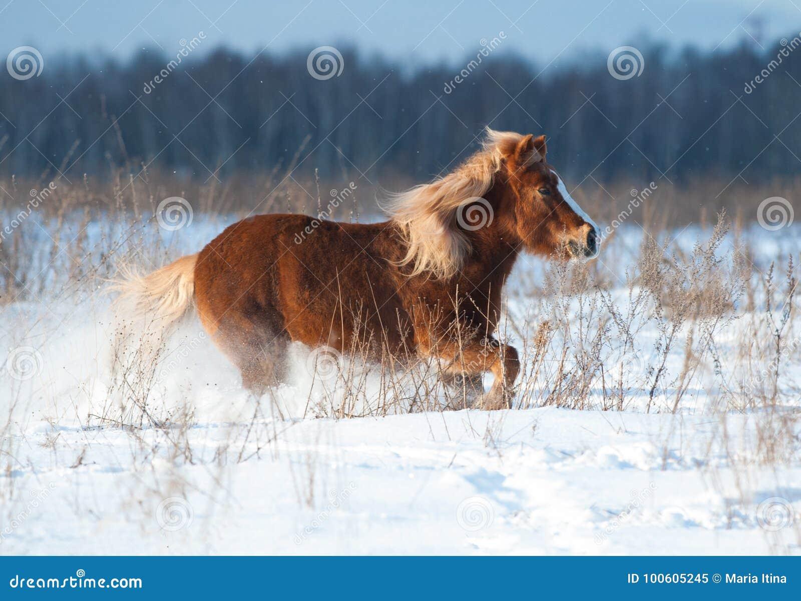 跑在冬天的舍特兰群岛小马