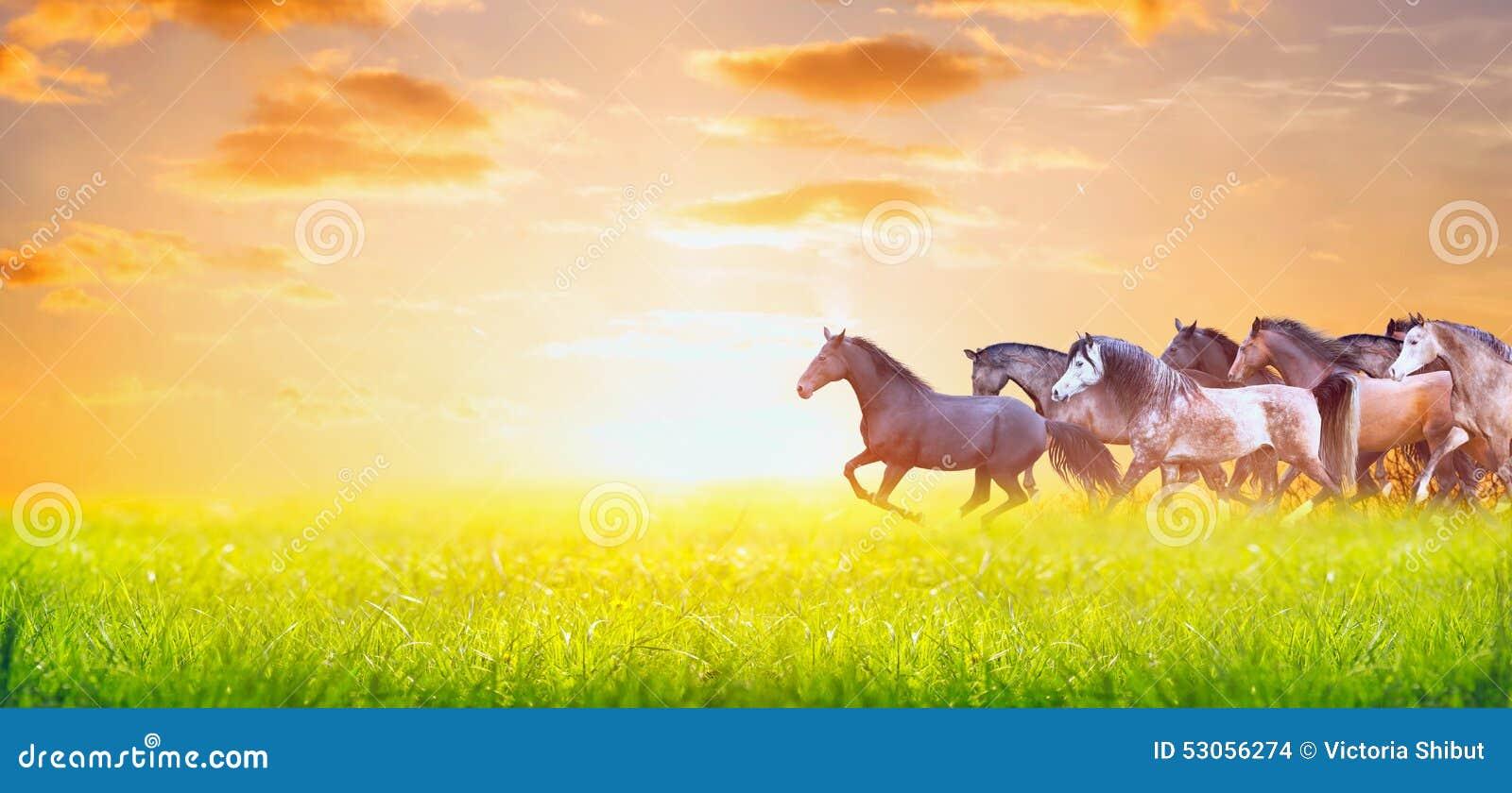 跑在日落天空,网站的横幅的晴朗的夏天牧场地的马牧群