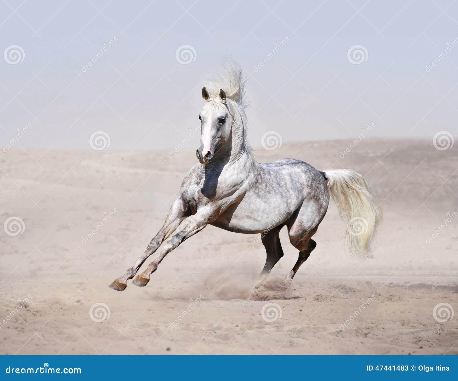 跑在沙漠的阿拉伯馬.圖片
