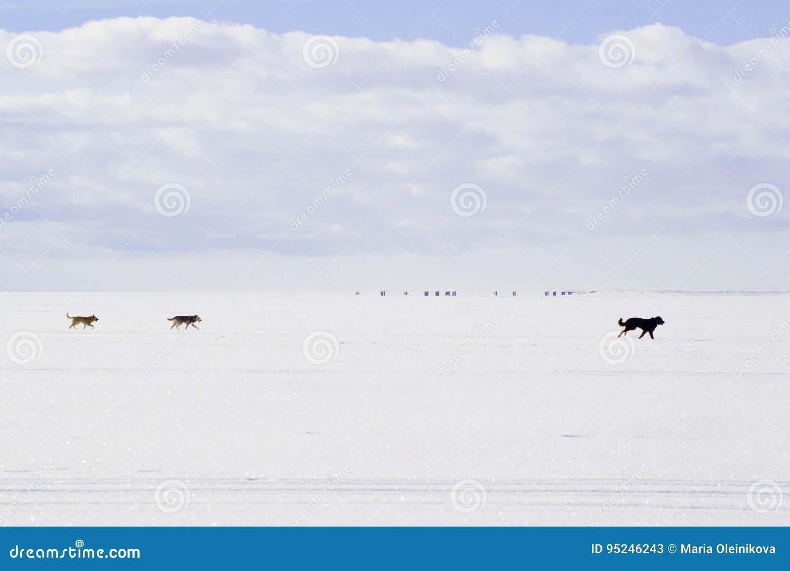 跑在白色雪的狗