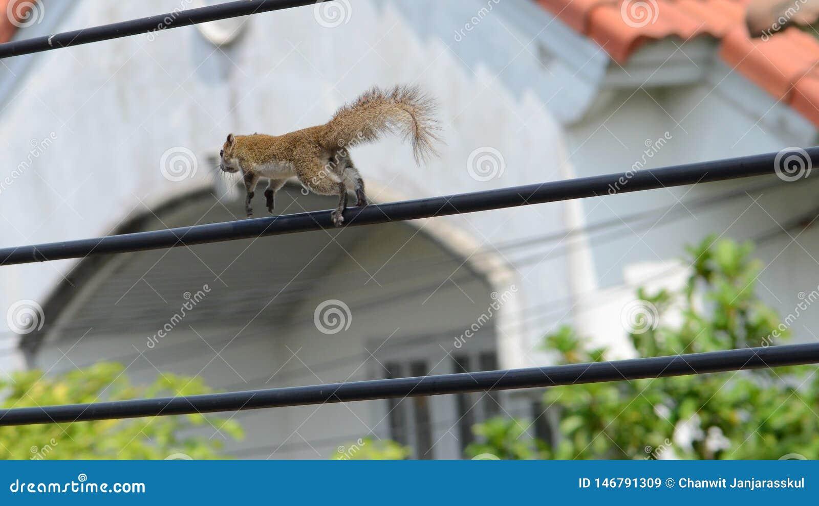 跑在缆绳的棕色灰鼠特写镜头
