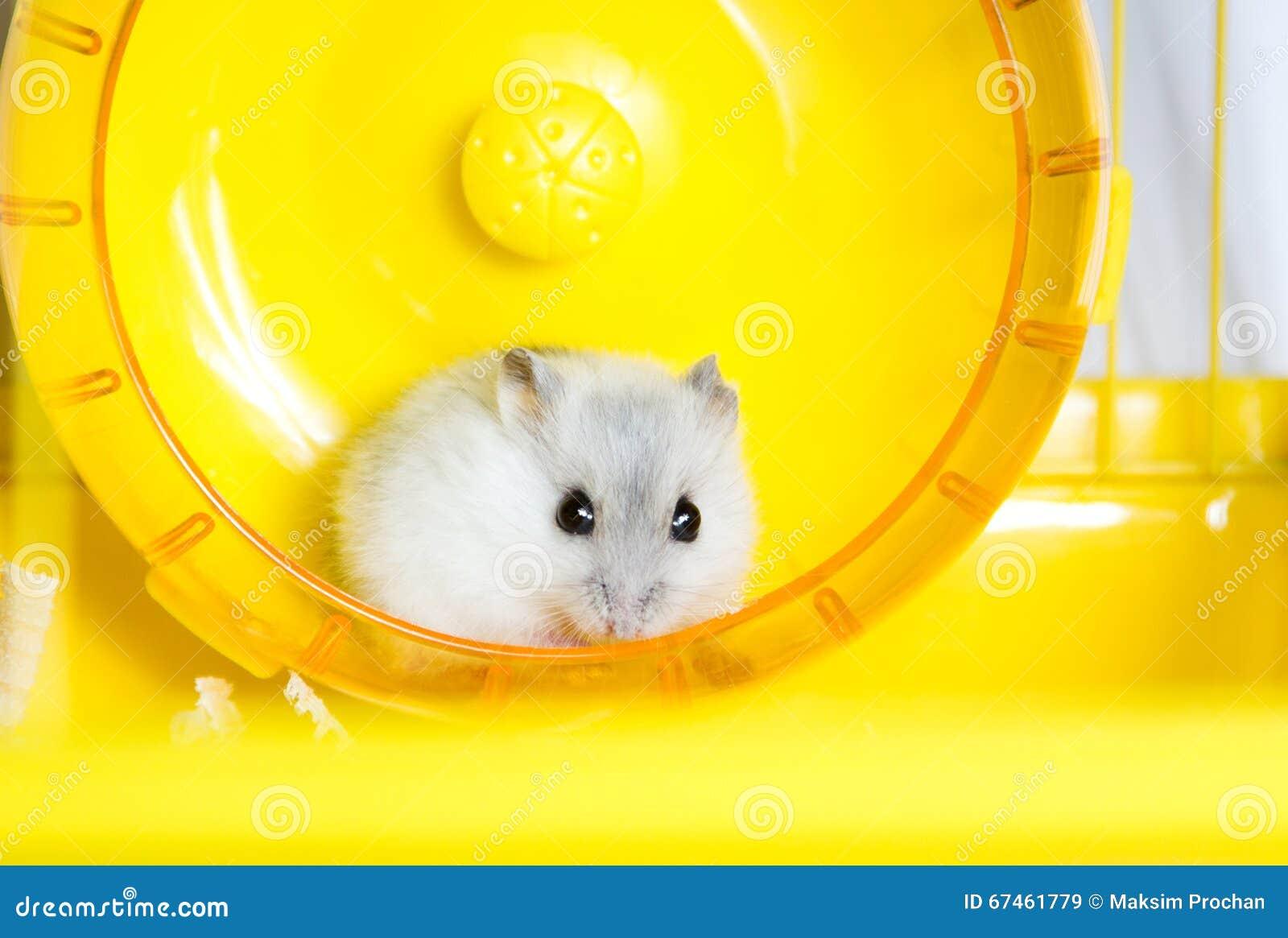 跑在轮子的活跃仓鼠.外甥v轮子三岁老虎图片