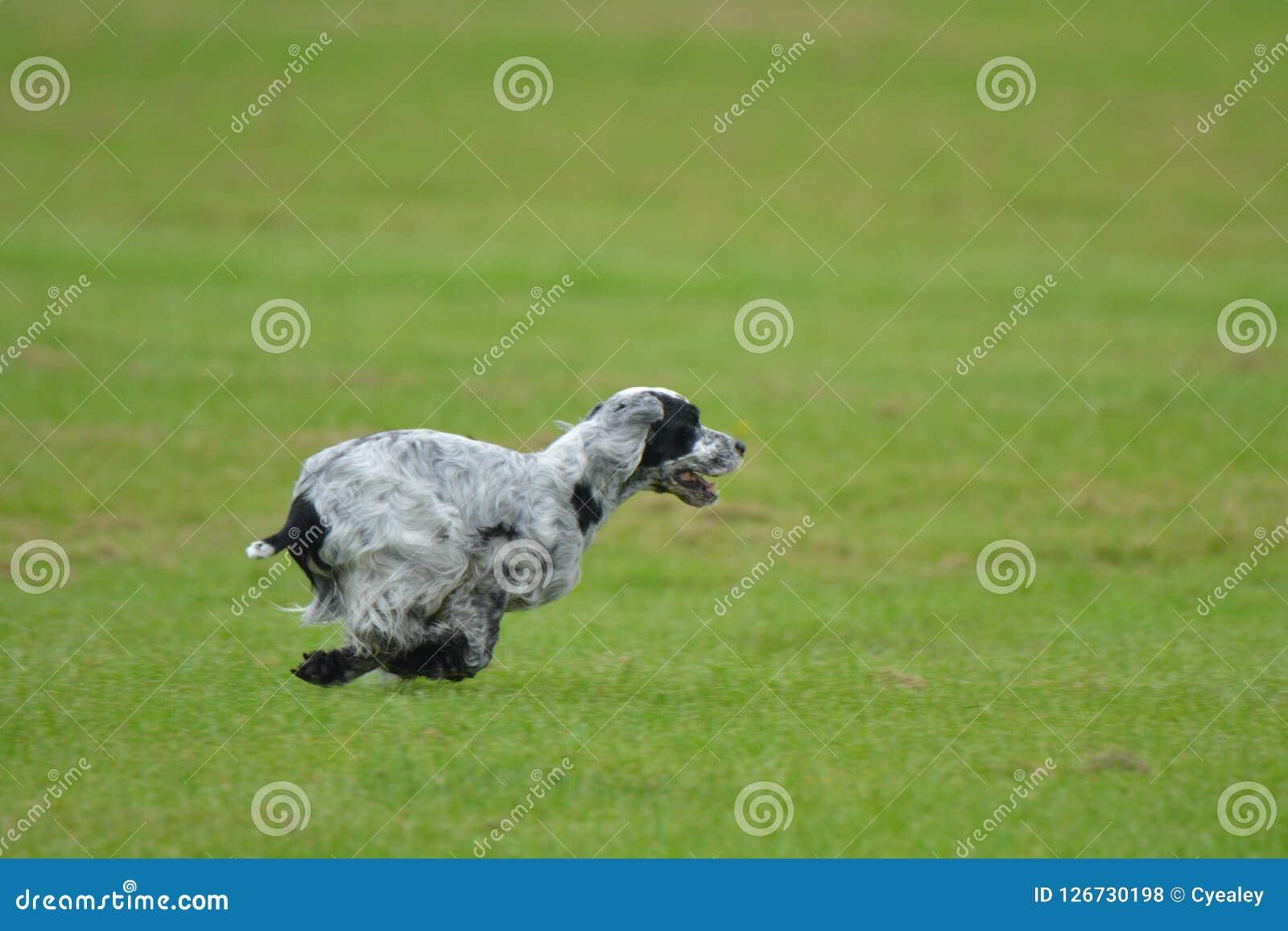 跑在领域的英国猎犬