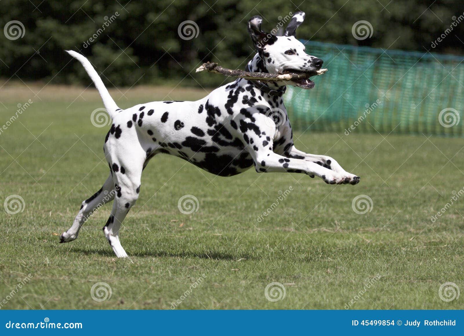 跑在领域的达尔马提亚狗