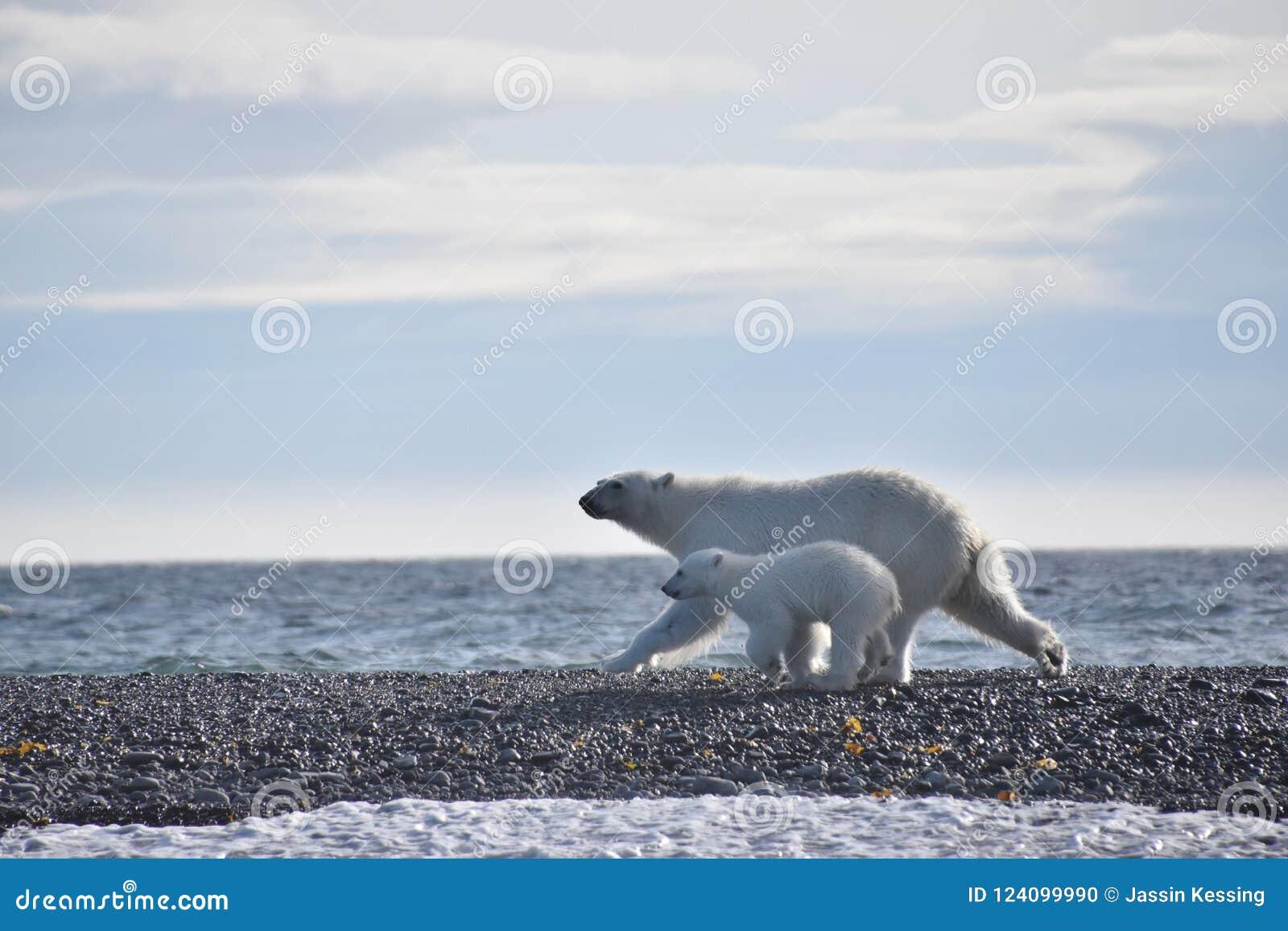 跑沿水的北极熊和崽在斯瓦尔巴特群岛