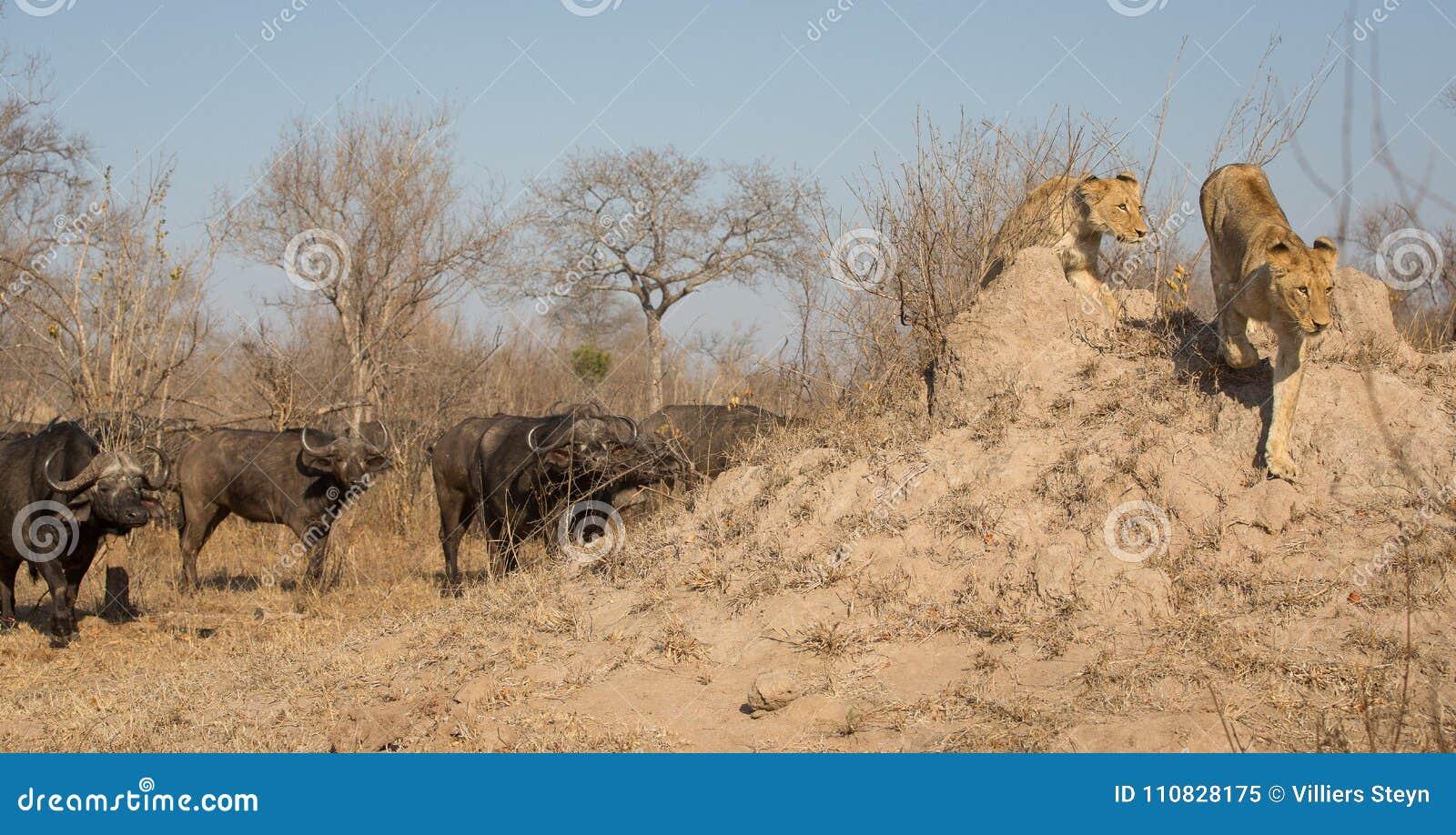 跑远离恼怒的水牛牧群的两只雌狮