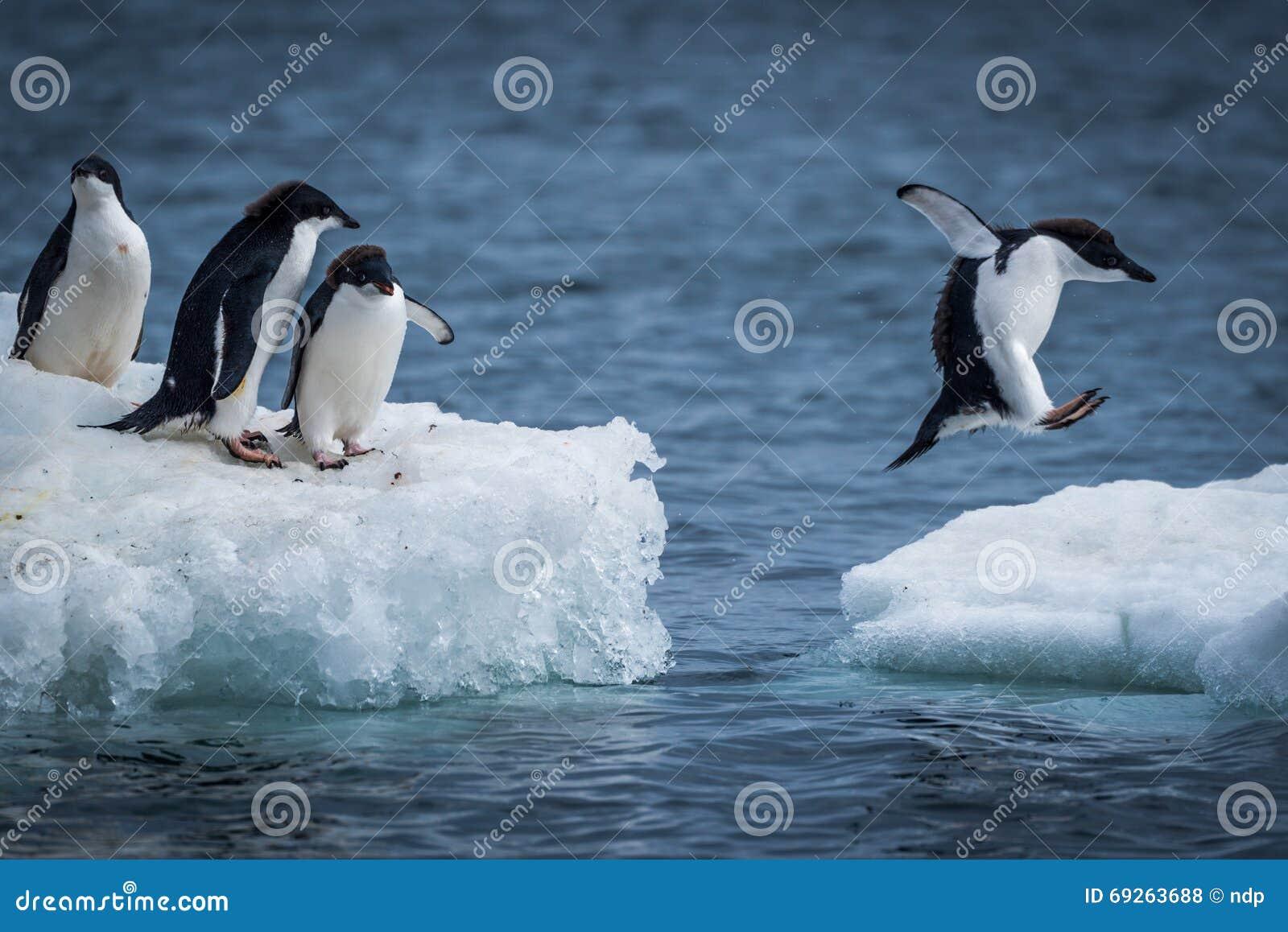 跳跃在两座冰川之间的Adelie企鹅