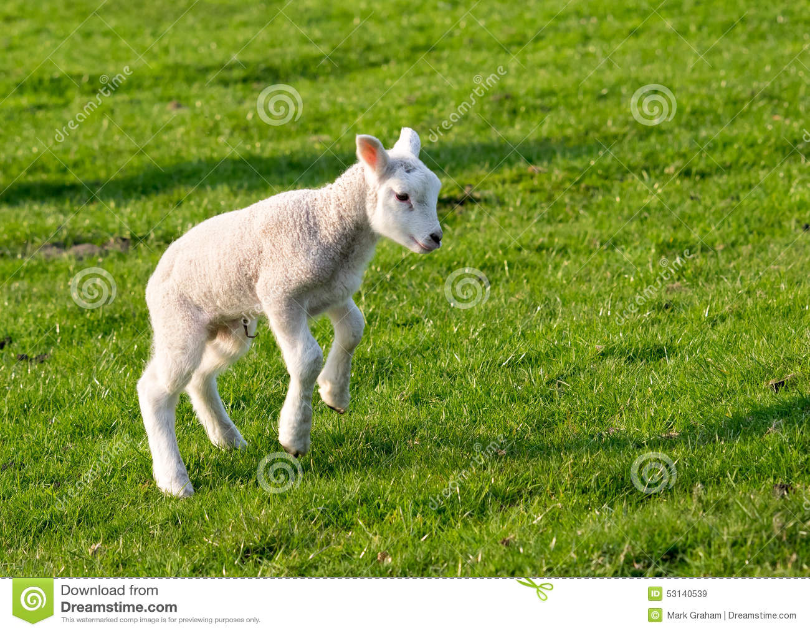 跳跃的羊羔