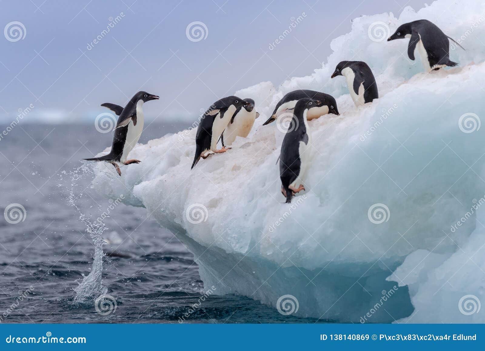 跳跃的Adélie penguine