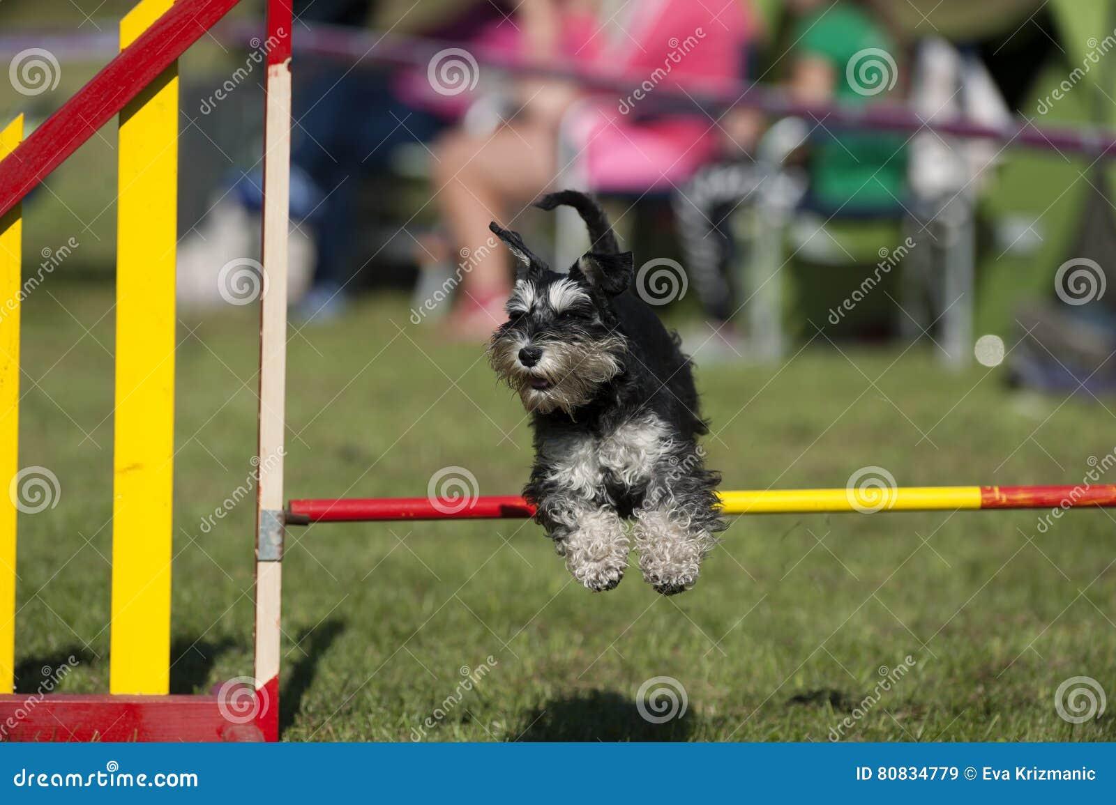 跳过在竞争的敏捷性障碍的逗人喜爱的小髯狗