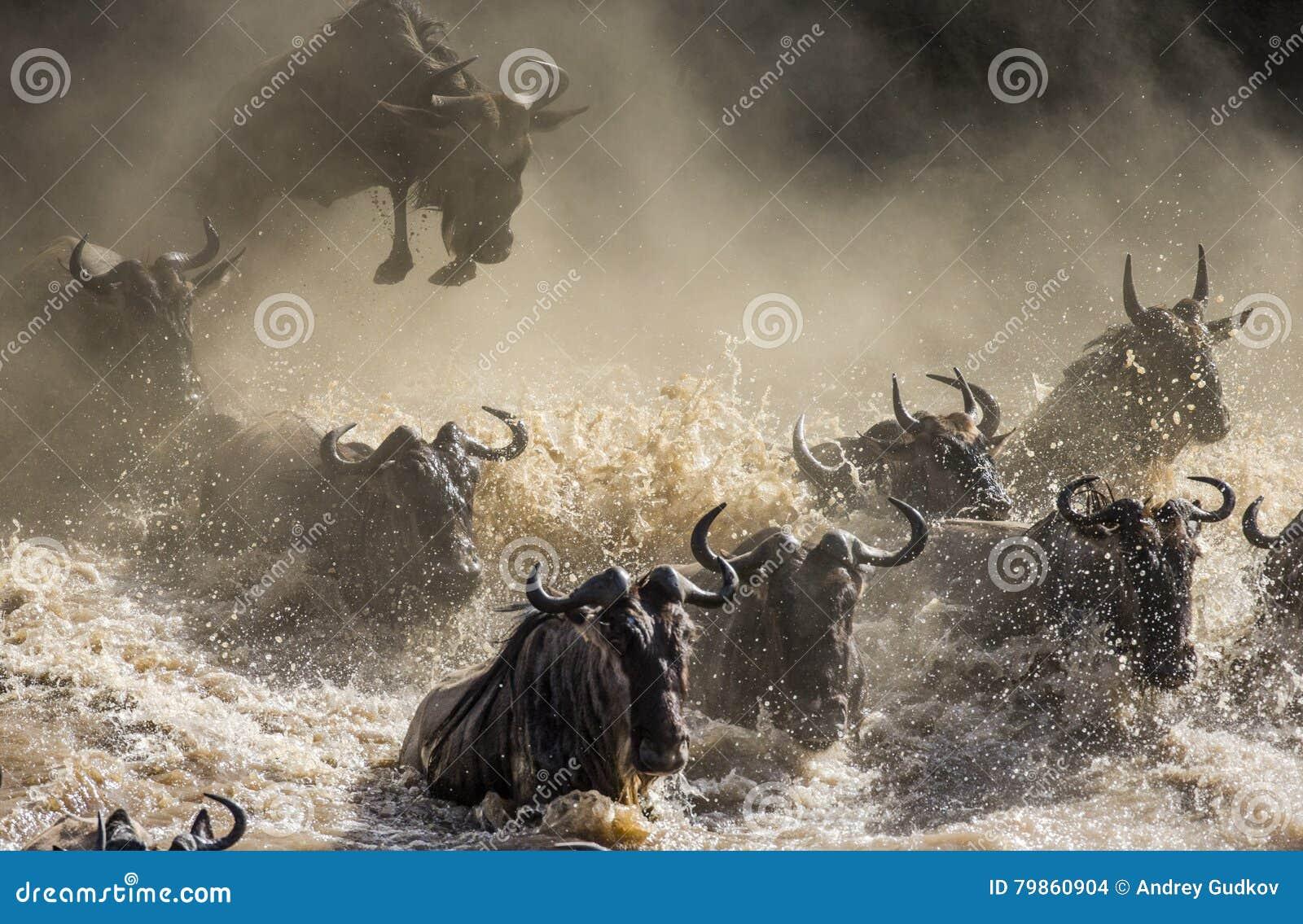 跳进玛拉河的角马 巨大迁移 肯尼亚 坦桑尼亚 马塞人玛拉国家公园
