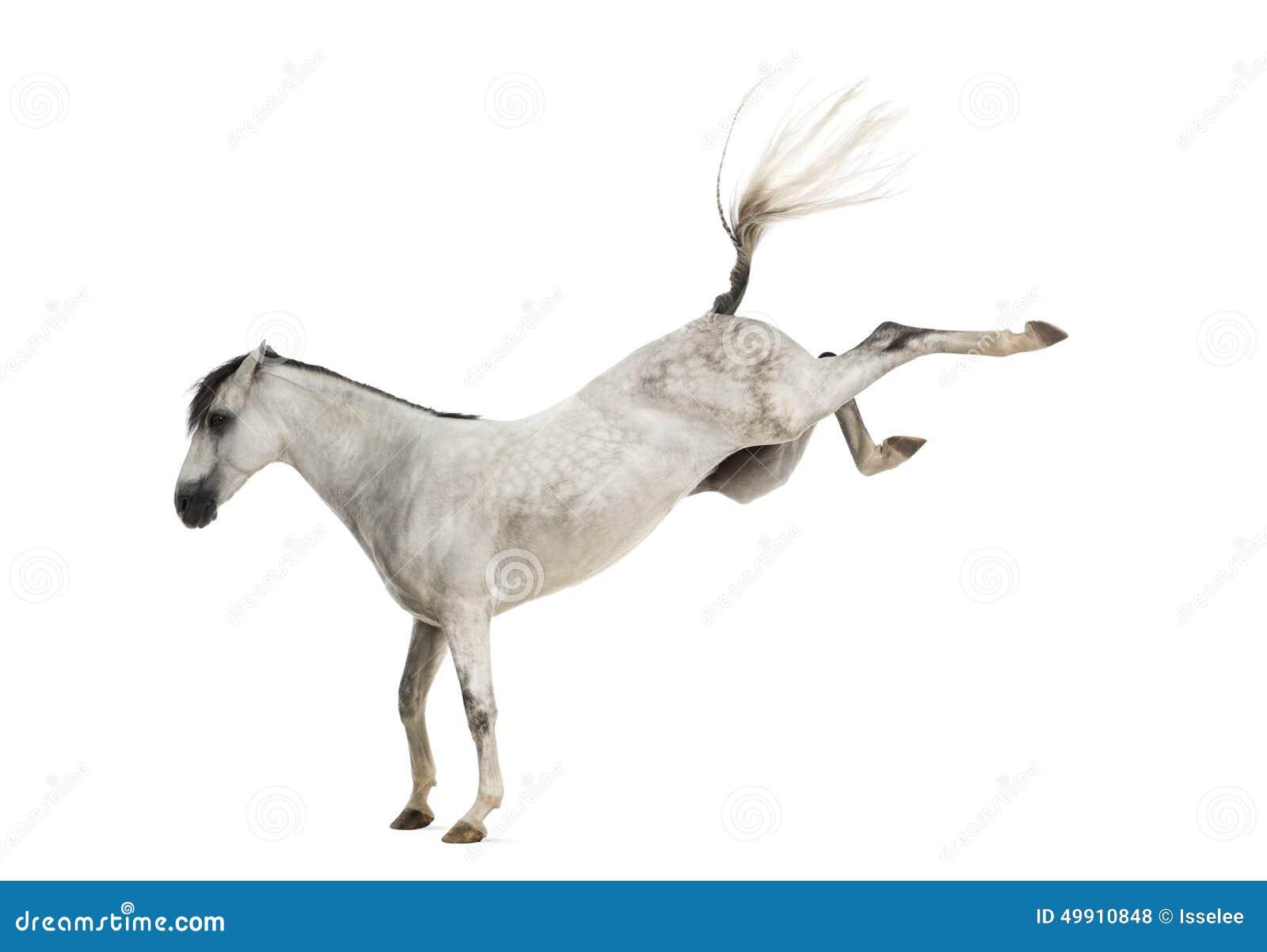 踢安达卢西亚的马隔绝在白色.
