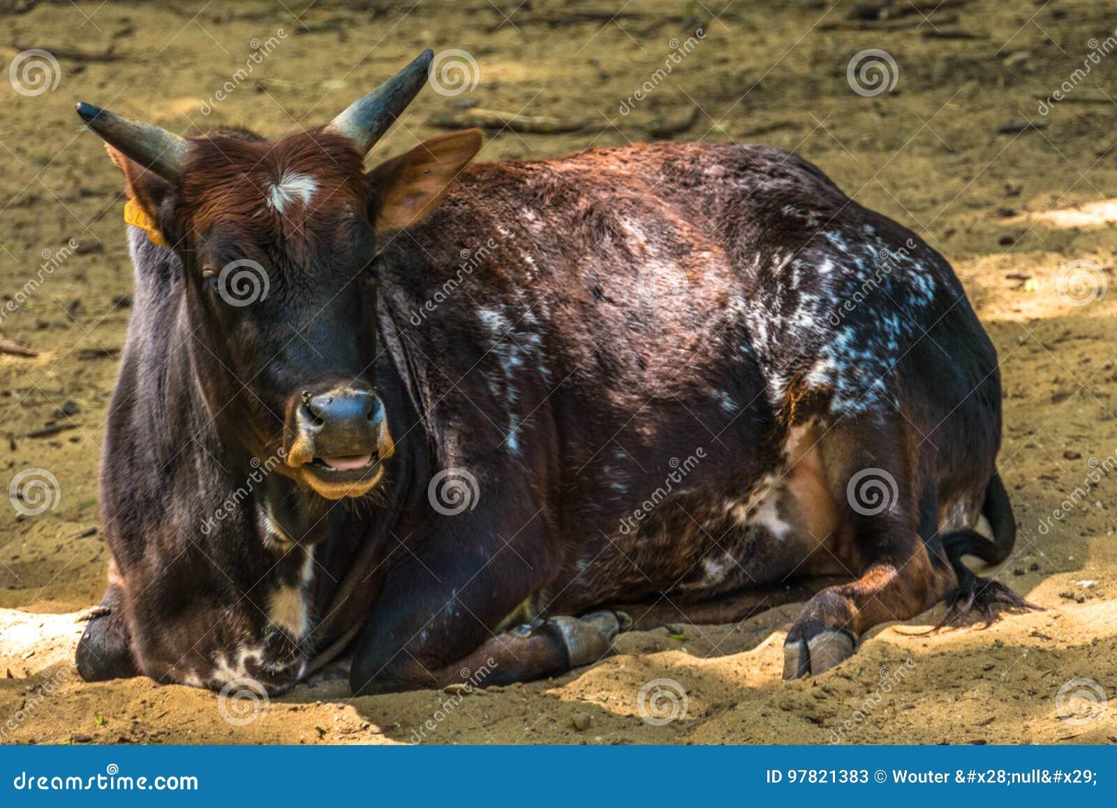 躺下在沙子的母牛