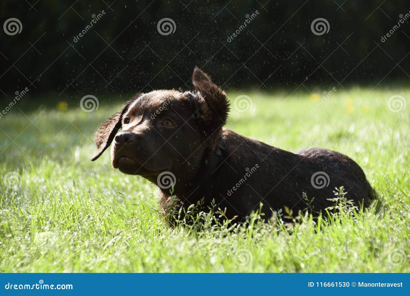 躺下在草的逗人喜爱的拉布拉多小狗震动水