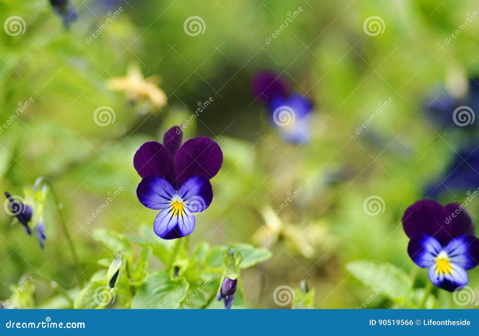 软性被弄脏的绿色背景边界紫罗兰