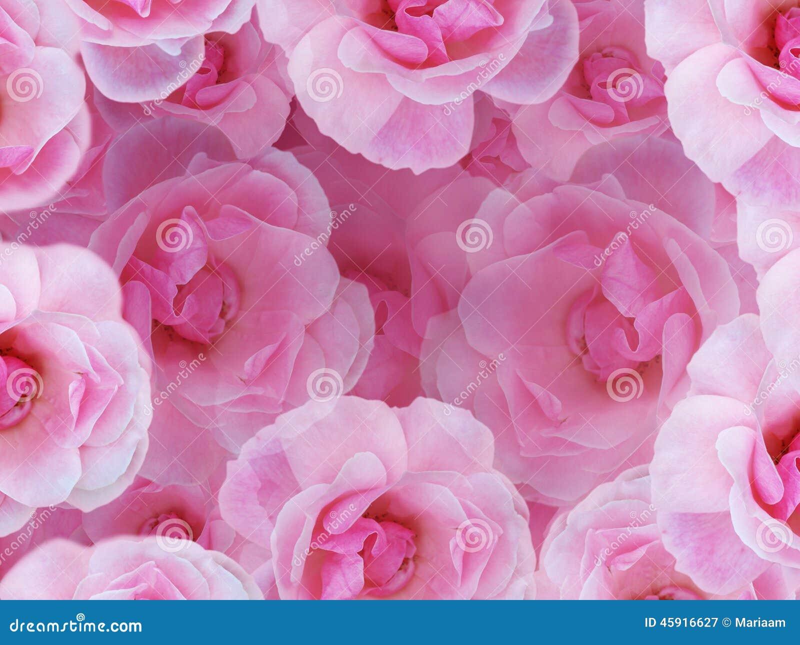 软桃红色的玫瑰