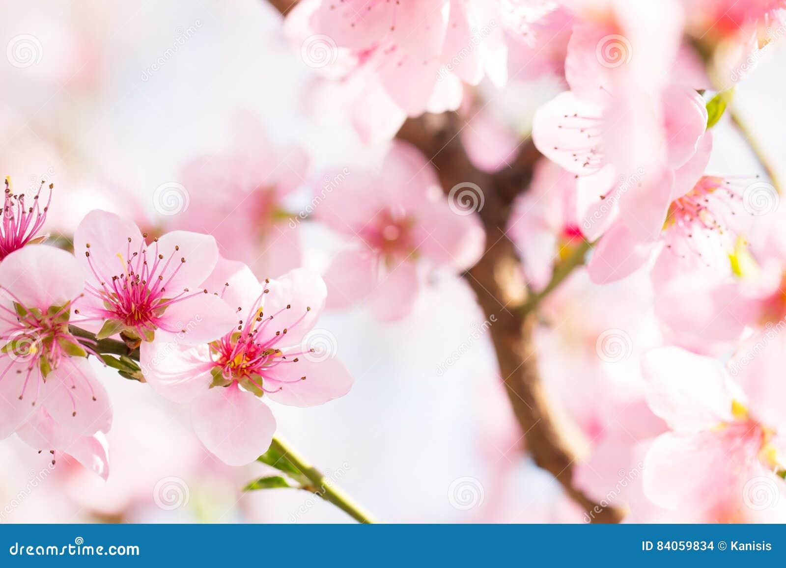 软的阳光在美好的桃红色花开花芽背景中