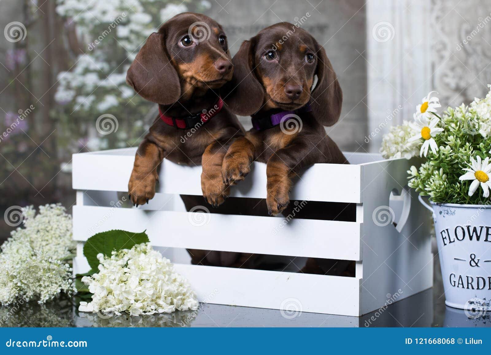 达克斯猎犬小狗和花春黄菊