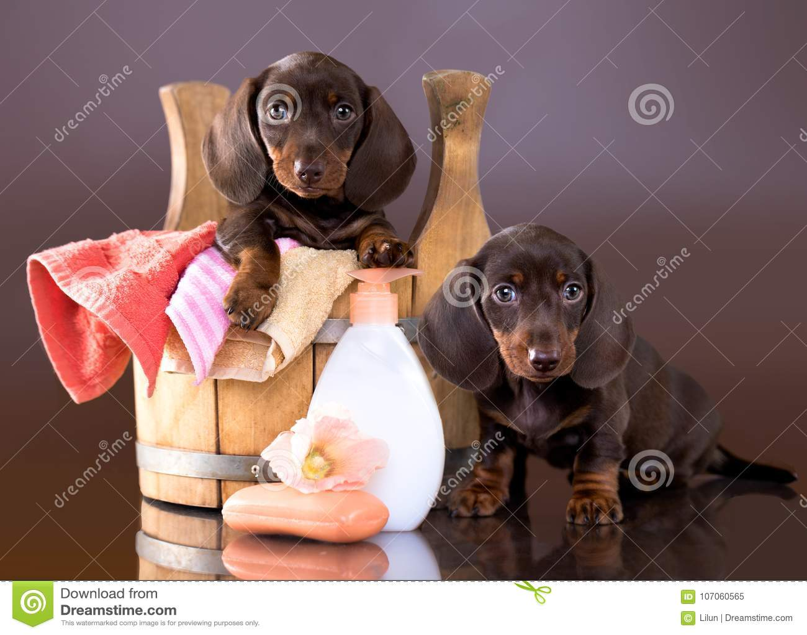 达克斯猎犬小狗-浴时间