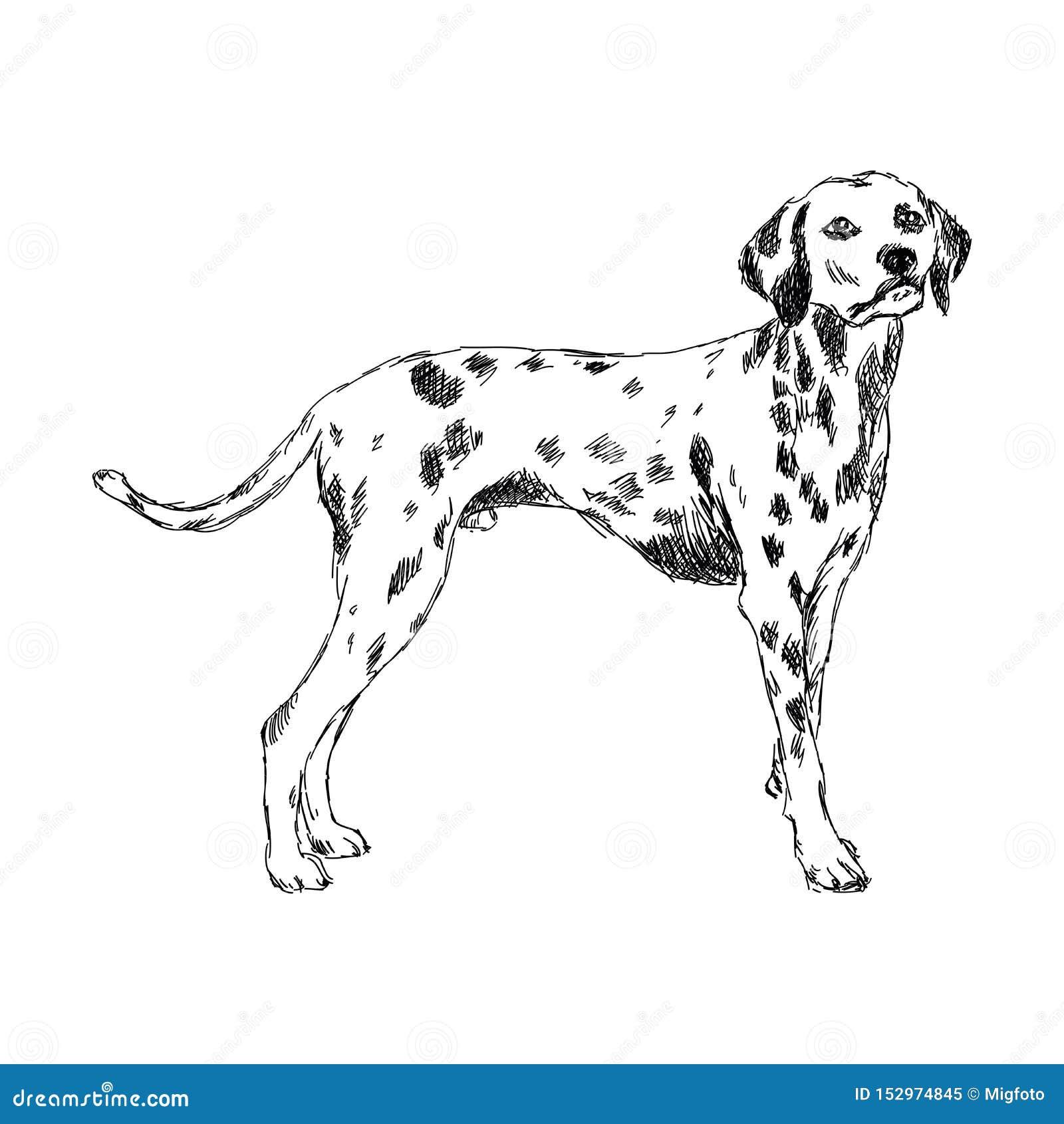 达尔马希亚狗品种
