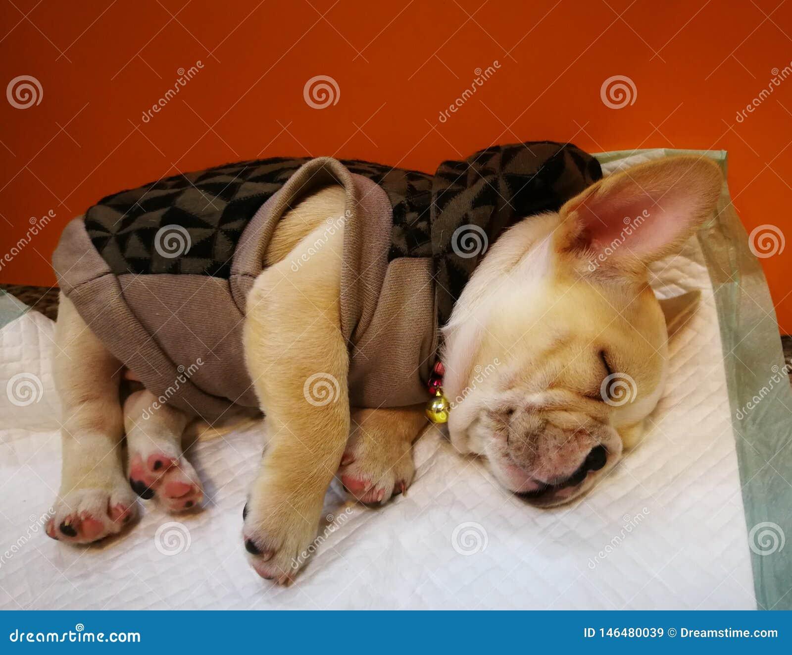 这只纯血统波士顿Terrior小狗在一个兽医办公室的大厅等待