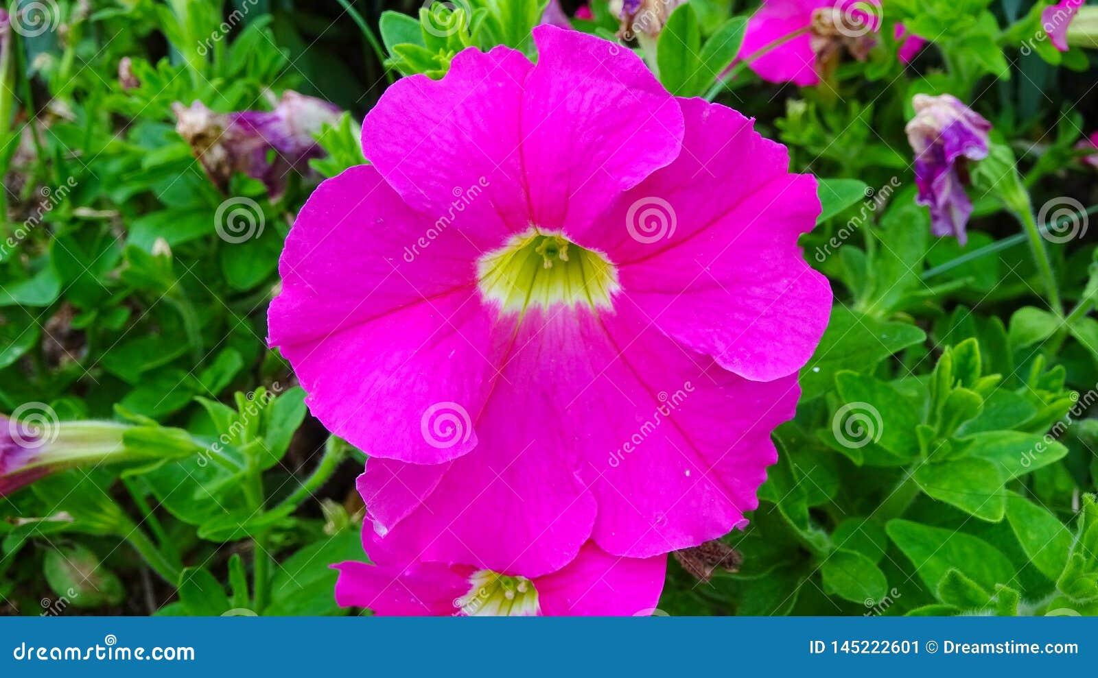 这是喇叭花hybrida花