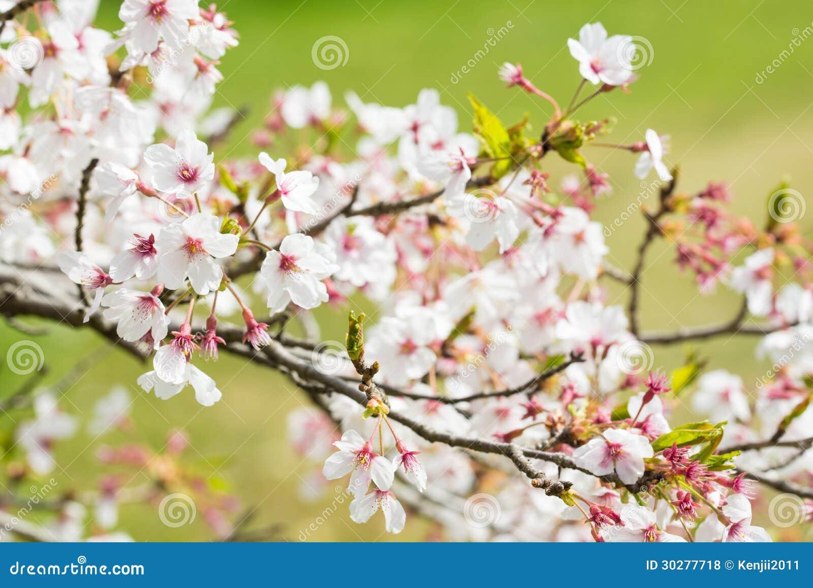 樱花在背景中是草原