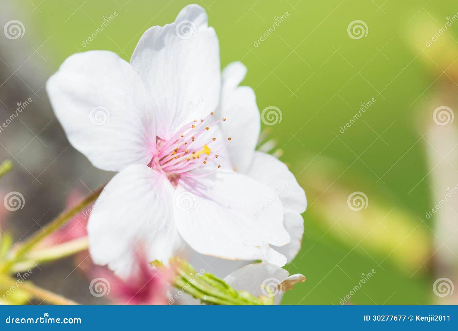 樱花的特写镜头照片