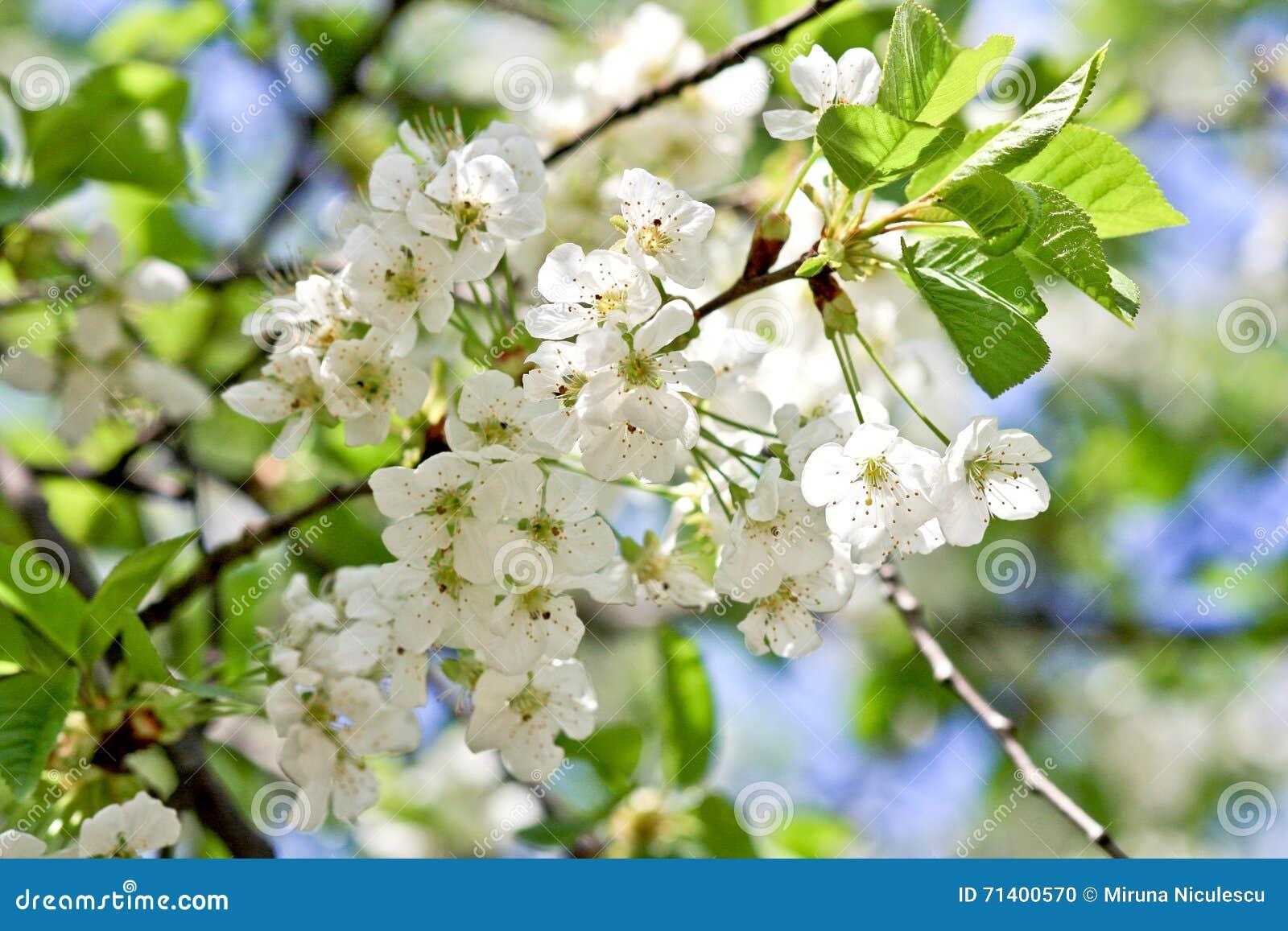 进展樱桃白色