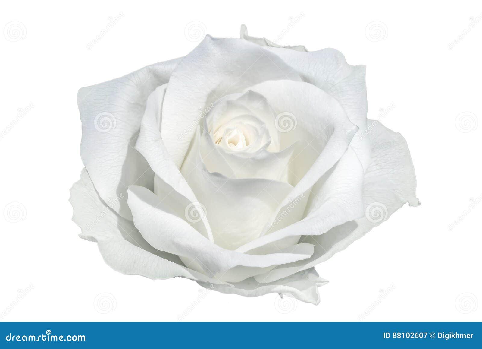 进展的特写镜头详述的花玫瑰色结构白色
