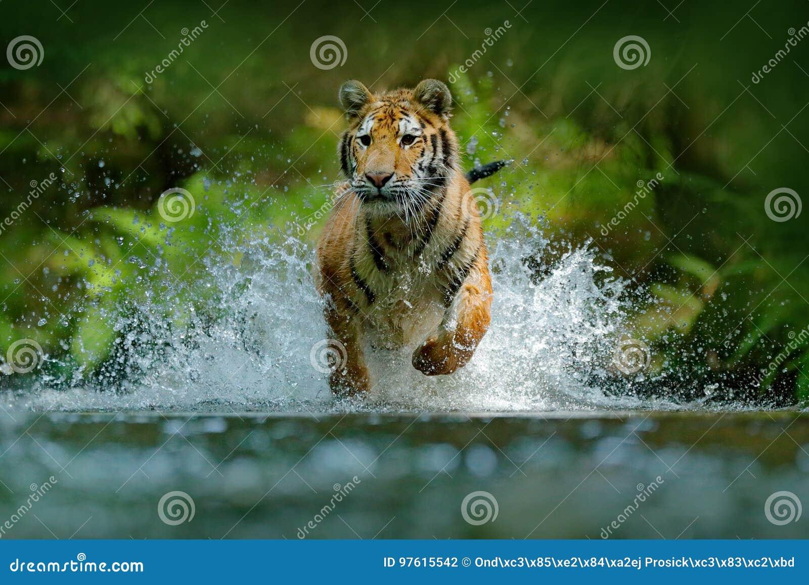 连续老虎水 危险动物, tajga在俄罗斯 在森林小河的动物 灰色石头,河小滴 与飞溅的老虎