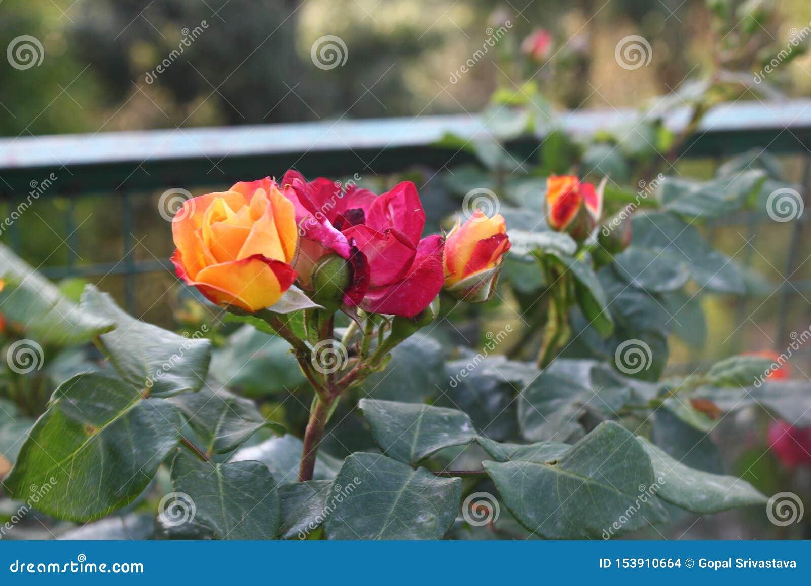 迷惑的五颜六色的花和芽
