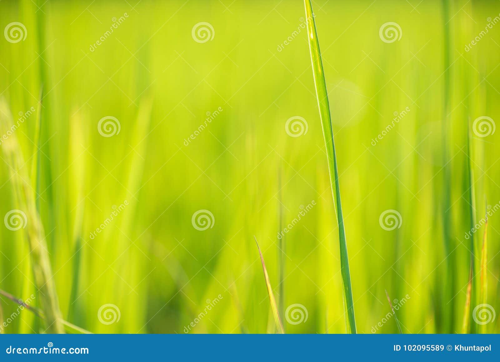 迷离绿色米叶子背景