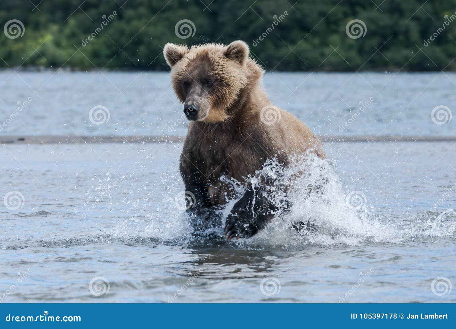 追逐三文鱼的熊