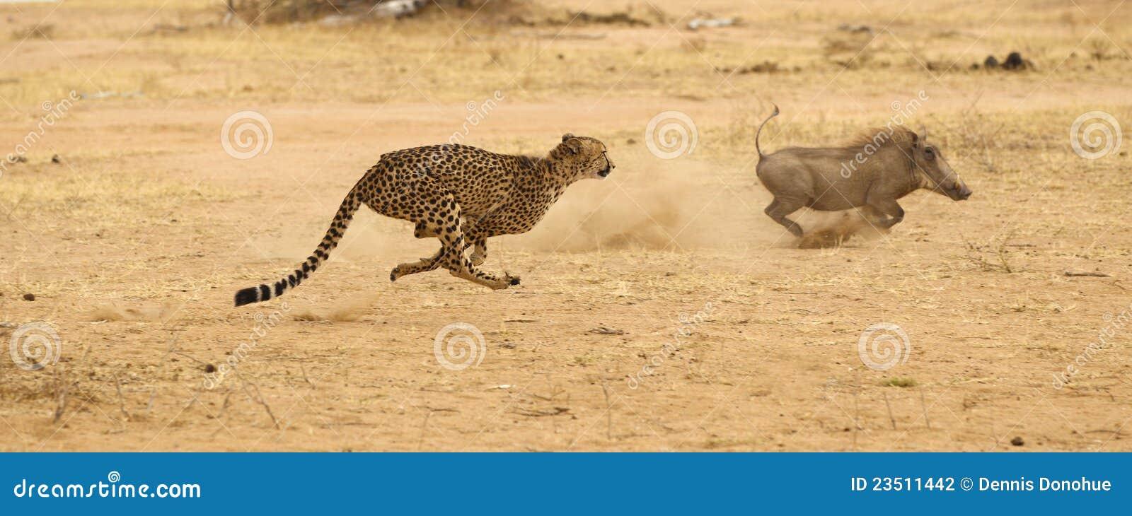 追逐猎豹warthog