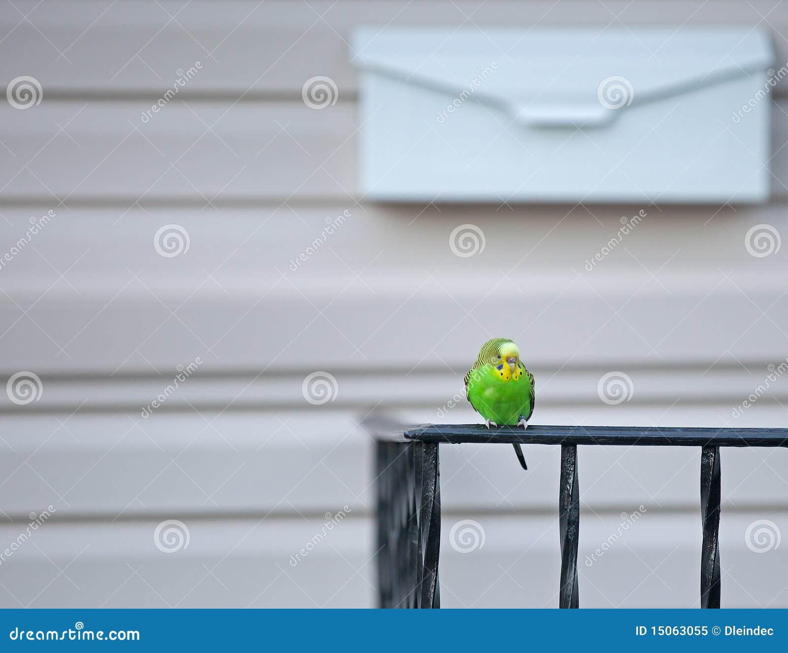 逃脱的长尾小鹦鹉宠物