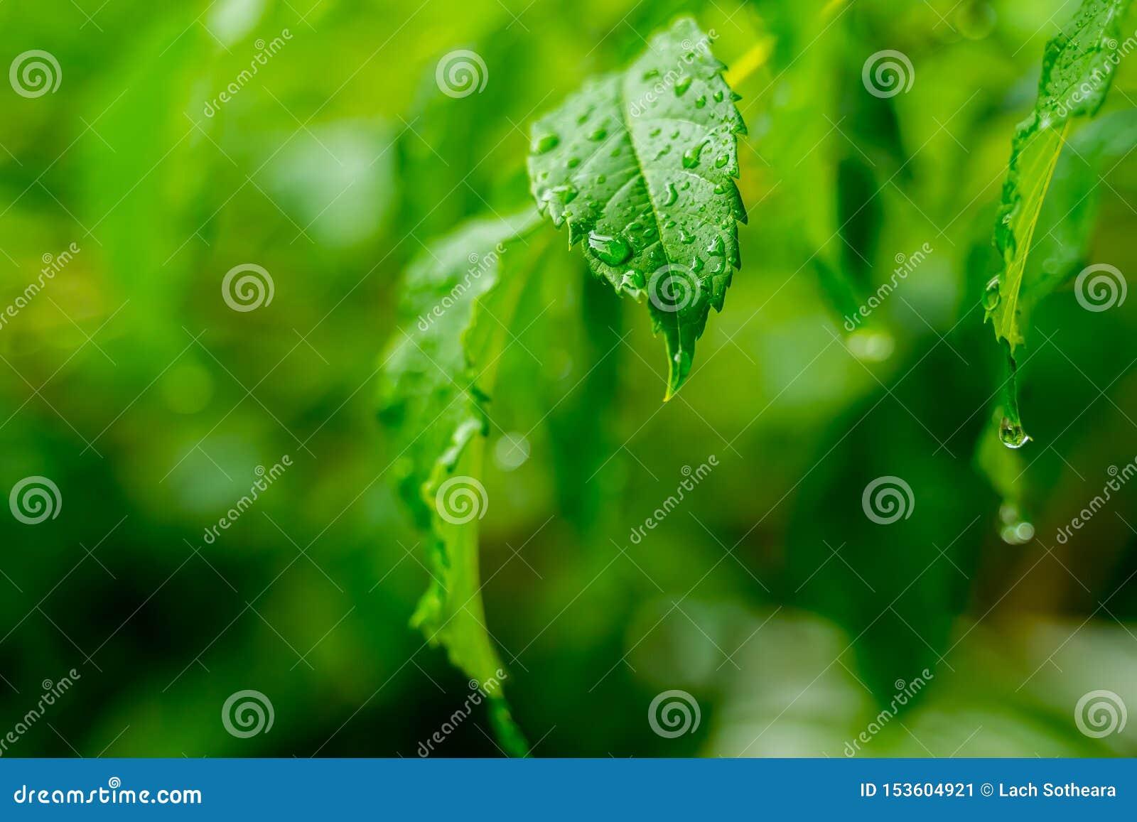 透明雨水美好的下落在绿色叶子宏指令的 露水许多下落在早晨在太阳 美好的叶子纹理