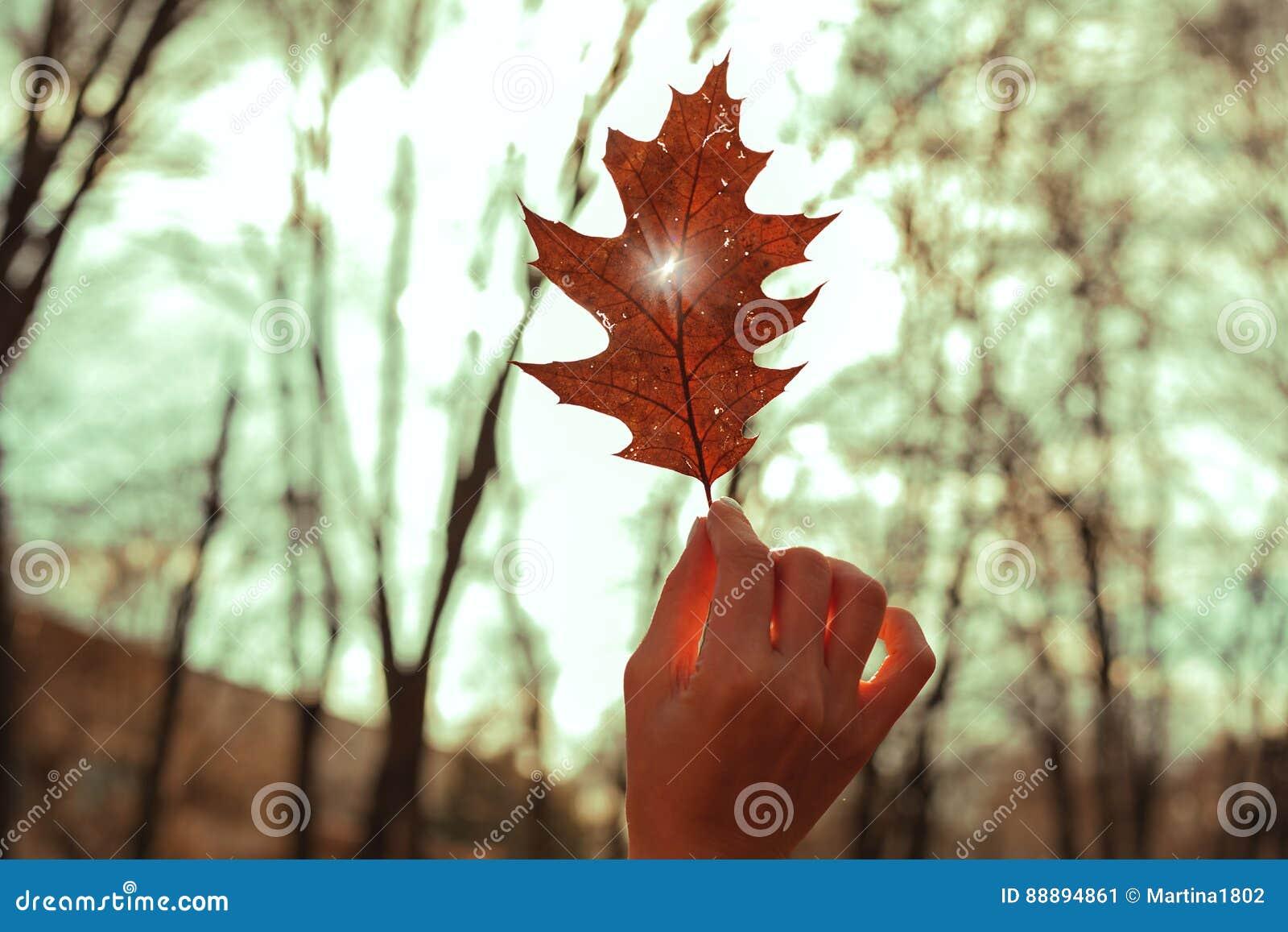 递拿着一片红槭叶子反对晴朗的天空