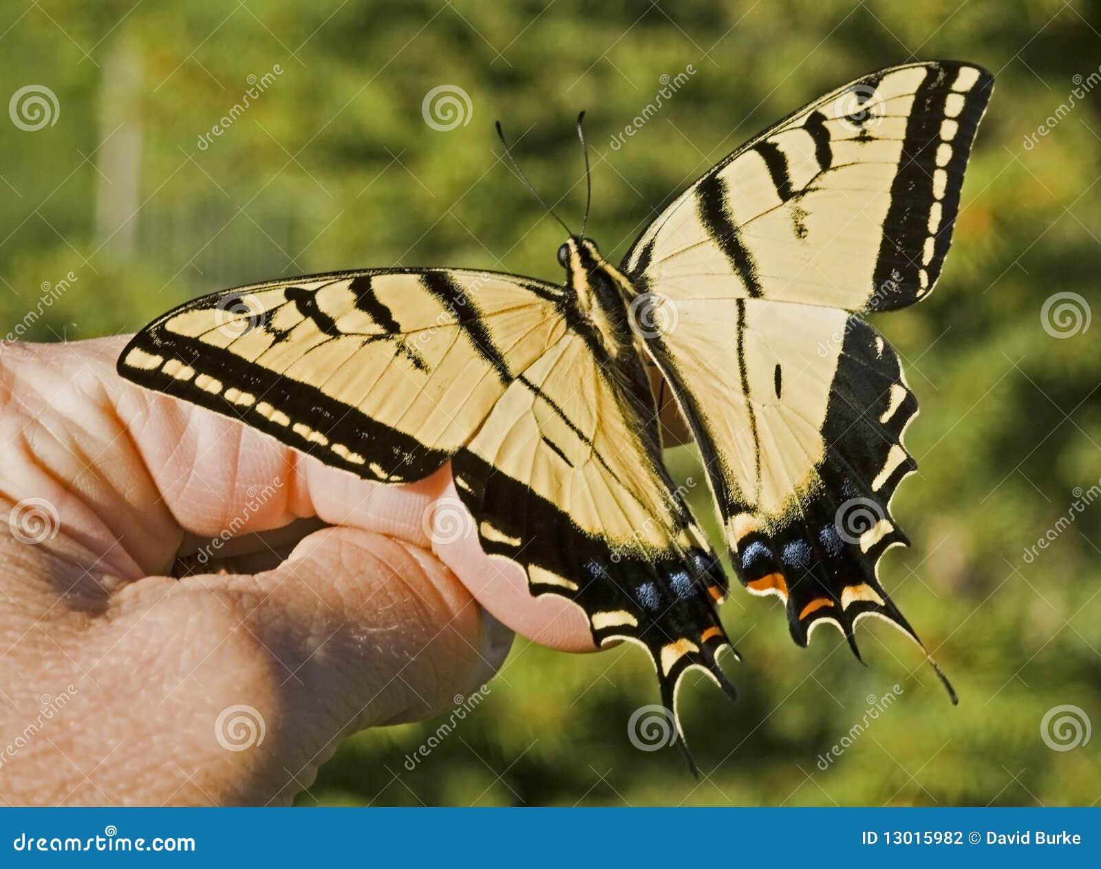 递swallowtail盯梢了二